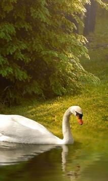 swan wallpapers poster