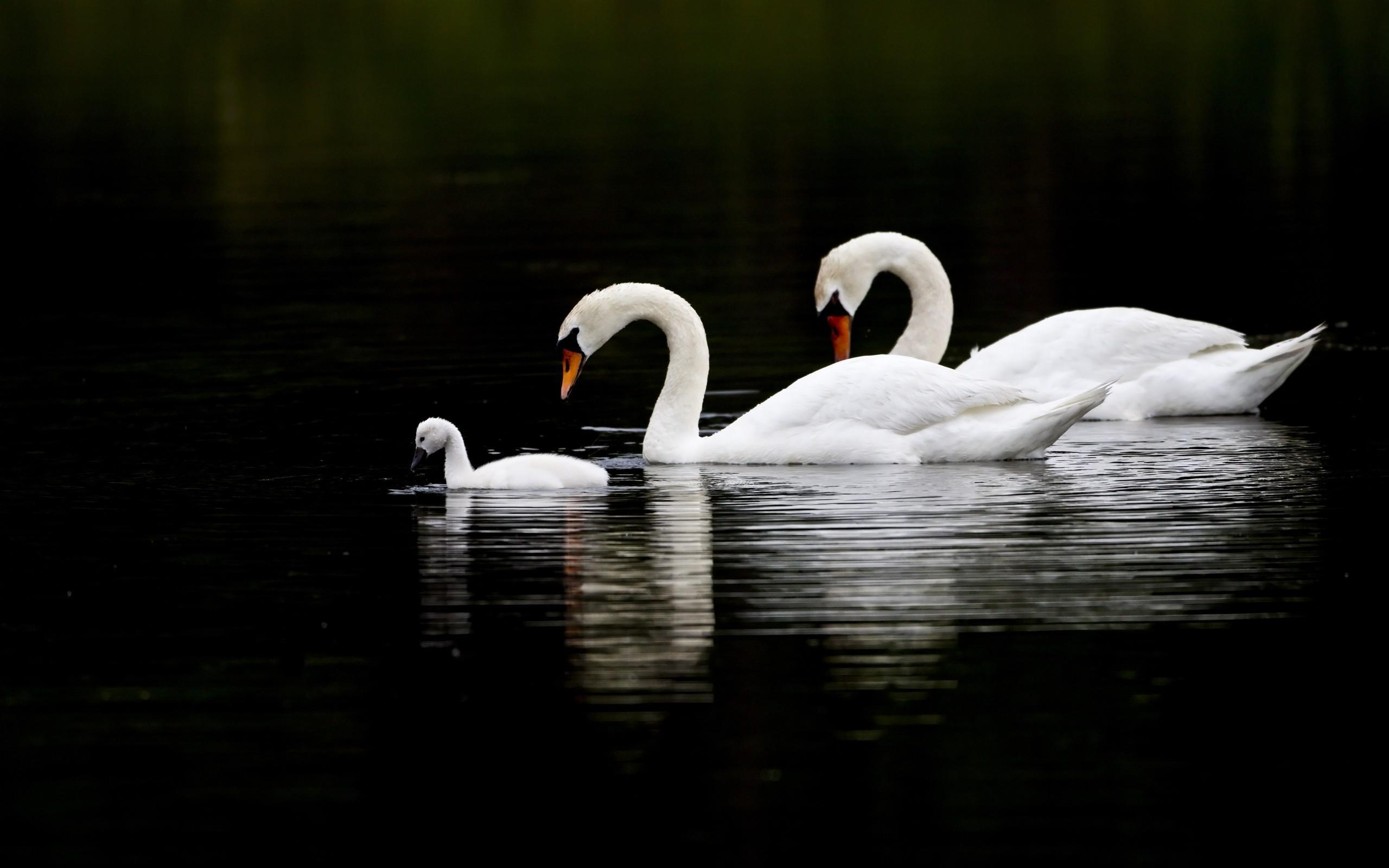 swan wallpaper pictures hd images free