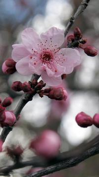 sakura tree wallpaper poster
