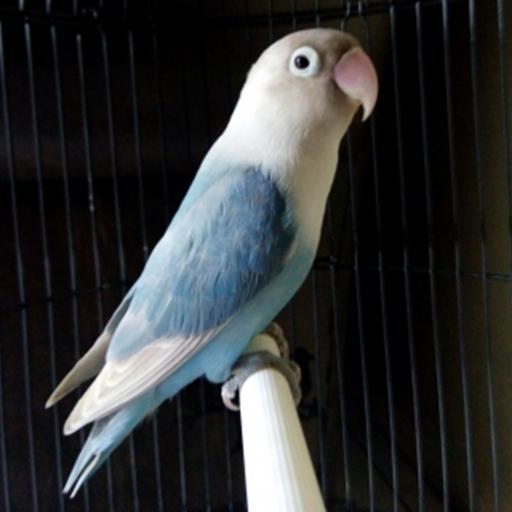 Unduh 900+ Foto Gambar Burung Lovebird Pastel Biru HD Terbaru Gratis