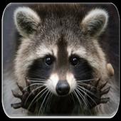 Raccoon Sounds icon