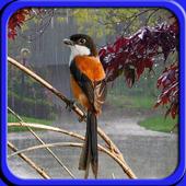 Suara Hujan Untuk Terapi Burung icon
