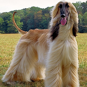 Dog Puzzle: Afghan Hound icon