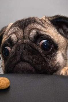 Pug Puzzle poster