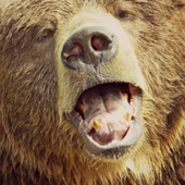 Hungry Hungry Bear Live WP icon