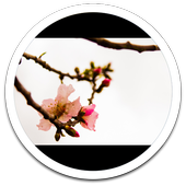 Photo HD Spring Flowers LWP icon