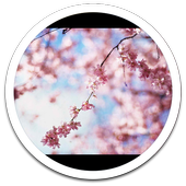 HD Photo Spring Blossom LWP icon