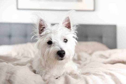 White Dog Wallpaper screenshot 12