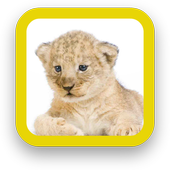 Baby Lion Wallpapers icon
