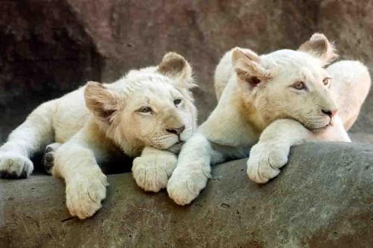 Baby Lion Wallpapers apk screenshot