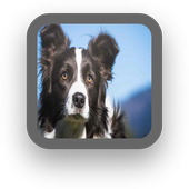 Border Collie Wallpapers icon