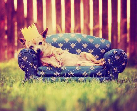 Chihuahua Wallpaper apk screenshot