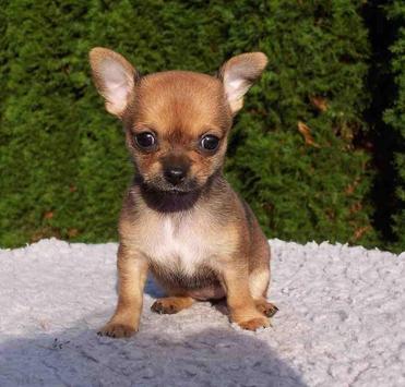 Chihuahua puppies wallpaper apk chihuahua puppies wallpaper apk voltagebd Images
