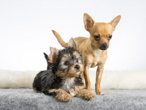Cute Chihuahua Wallpapers apk screenshot