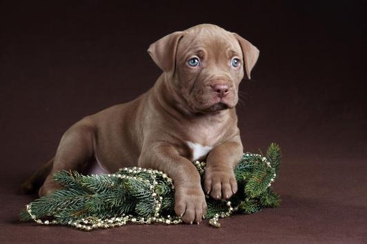 Free Pitbull Puppy Wallpaper Apk Screenshot