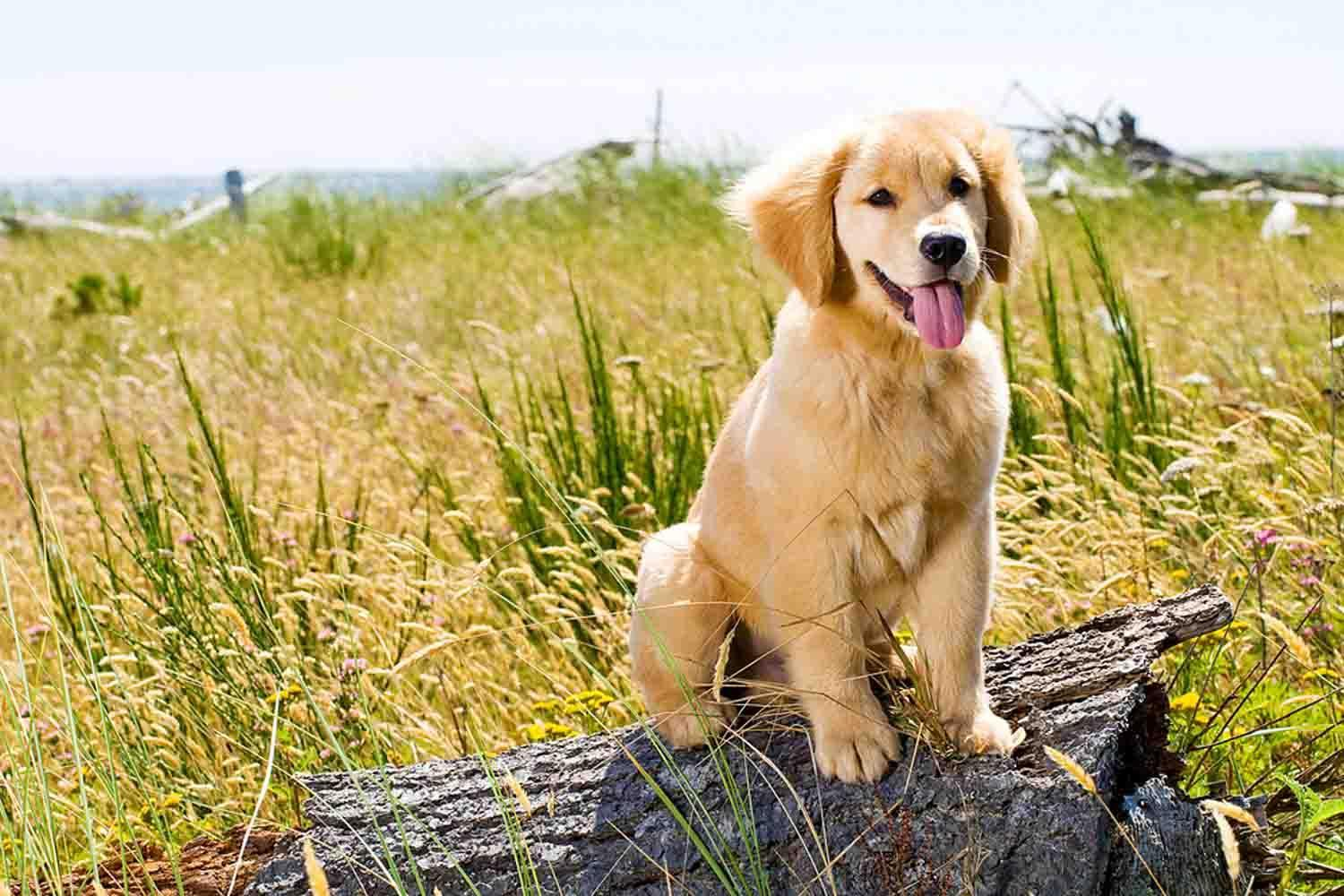 Golden Retriever Puppy For Android Apk Download