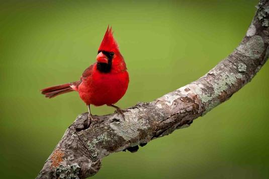 HD Birds Wallpapers apk screenshot
