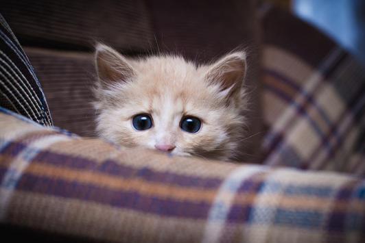 HD Kitten Wallpaper apk screenshot