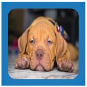 Pitbull Puppies Wallpaper Free icon