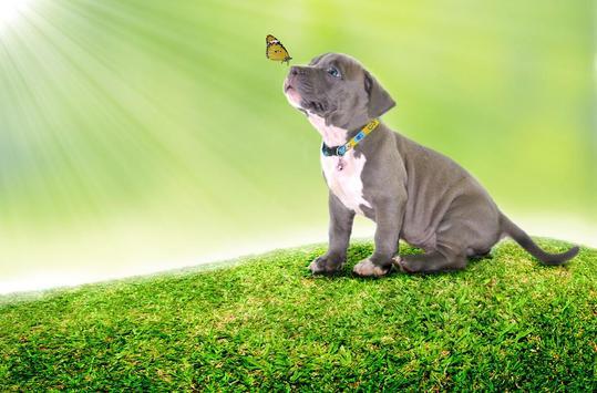 Pitbull Puppies Wallpaper Free poster