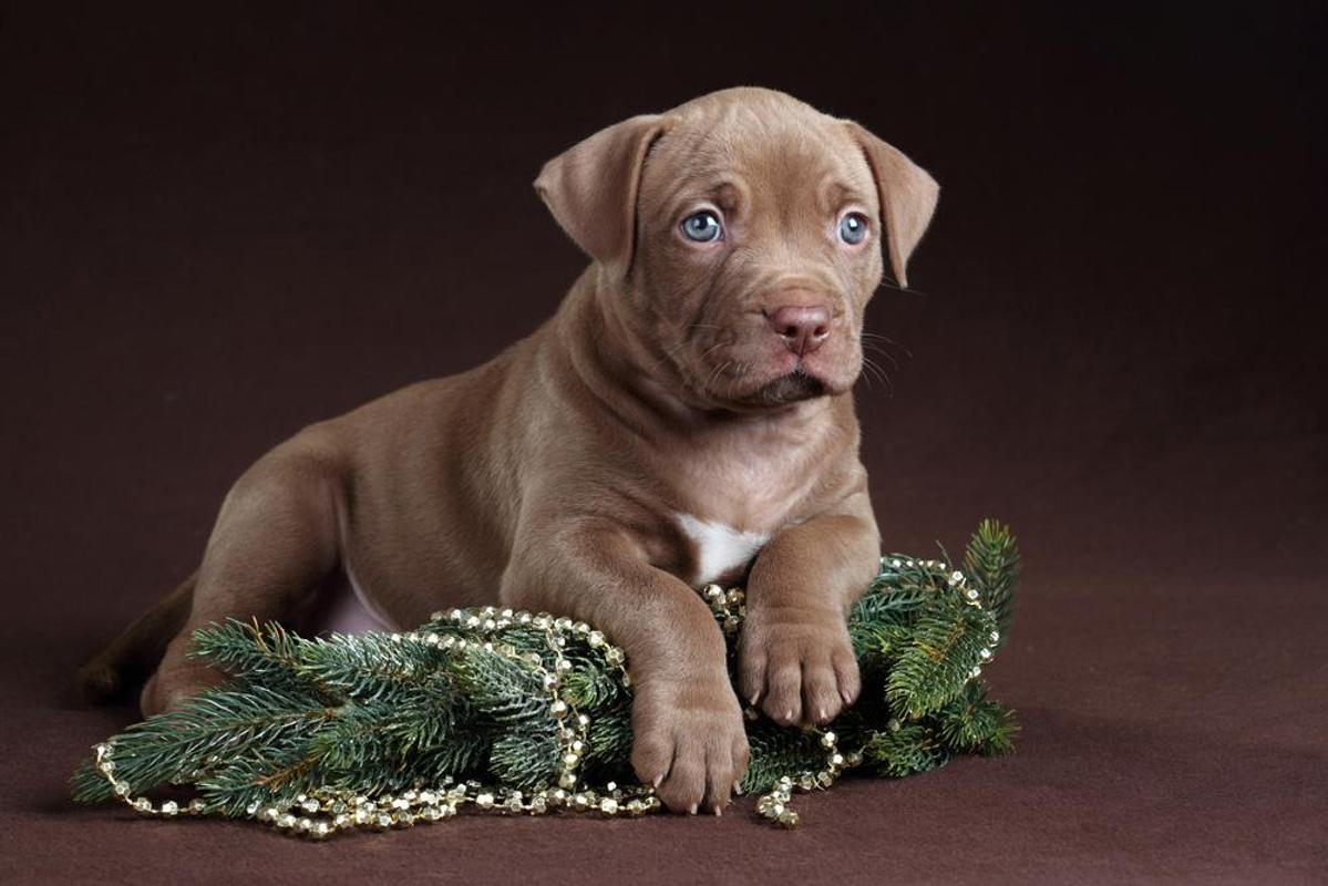 Pitbull Puppy Wallpaper Apk Screenshot