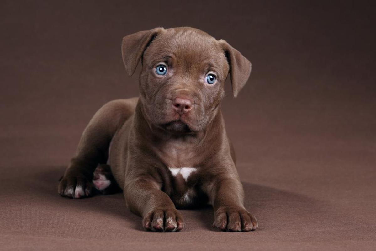 Pitbull Puppy Wallpaper APK Download