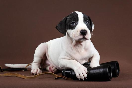 Pitbull Puppy Wallpaper apk screenshot