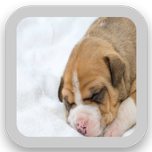 Pitbull Puppy Wallpapers icon