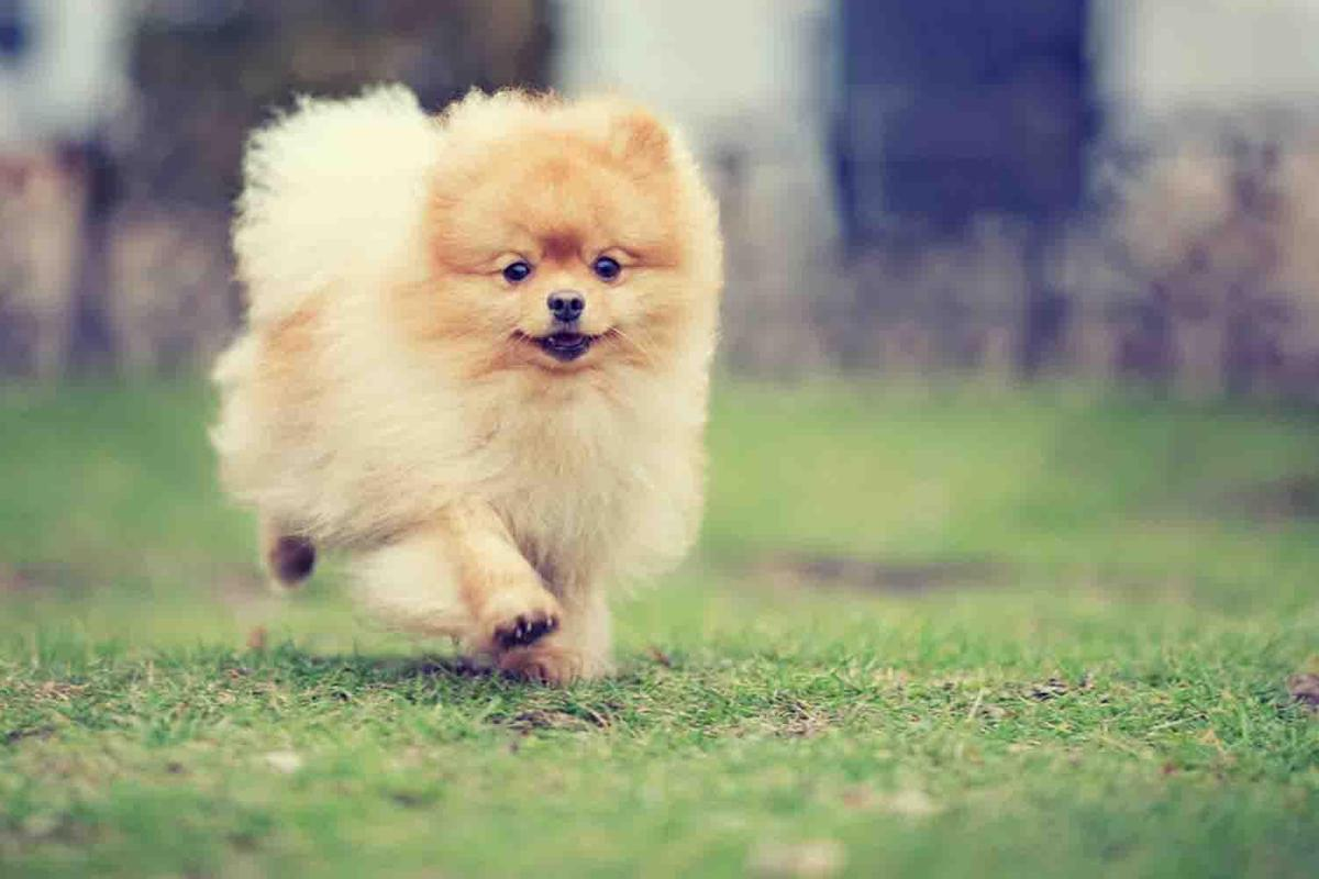 Pomeranian Dog Wallpaper For Android Apk Download