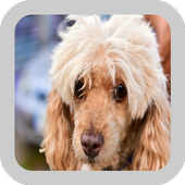 Poodle Dogs Wallpaper icon