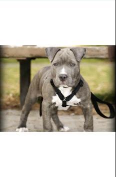 Puppy Pitbull Wallpapers apk screenshot