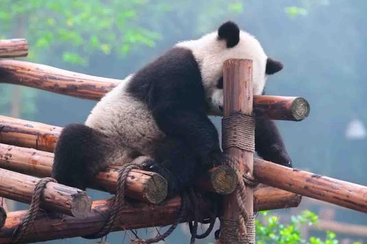 Sleepy Panda Wallpapers screenshot 21