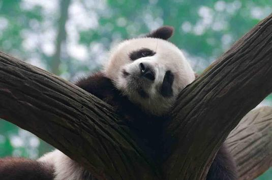 Sleepy Panda Wallpapers screenshot 23