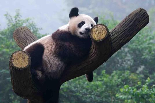 Sleepy Panda Wallpapers screenshot 24
