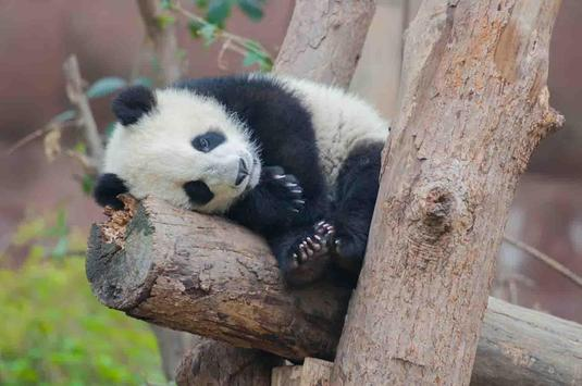 Sleepy Panda Wallpapers apk screenshot