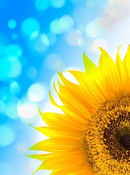 Sun Flower HD Wallpapers apk screenshot