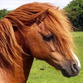 shetland pony wallpaper icon