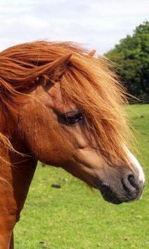 shetland pony wallpaper poster