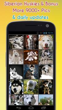 Siberian Husky Wallpaper apk screenshot