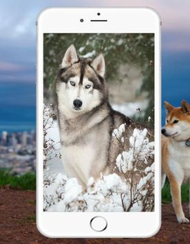 Siberian Husky Wallpaper screenshot 2