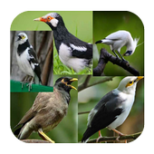 Kicauan Burung Jalak Terlengkap icon