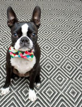 Boston Terrier Wallpapers Poster