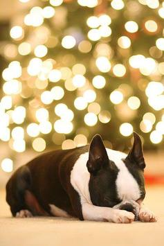 Boston Terrier Wallpapers Apk Screenshot