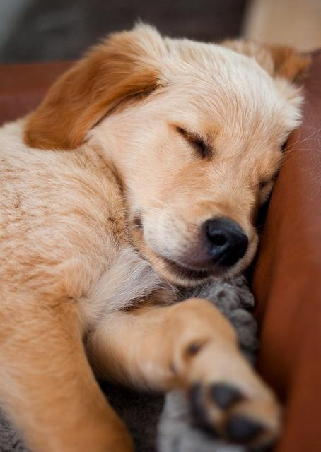 Golden Retriever Wallpapers For Android Apk Download
