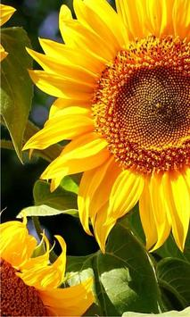 Sunflowers Free 2016 poster