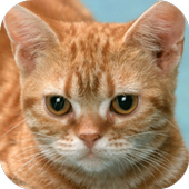 Funny Red Cat icon