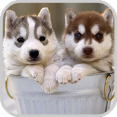 Siberian Husky Puzzle Game icon