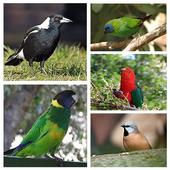 Bird Sound : Australian icon
