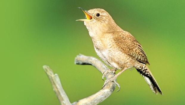 Wren bird Sounds APK Download - Free Music & Audio APP for Android Wren Audio on