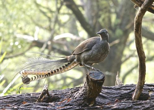 Lyrebird Sounds poster